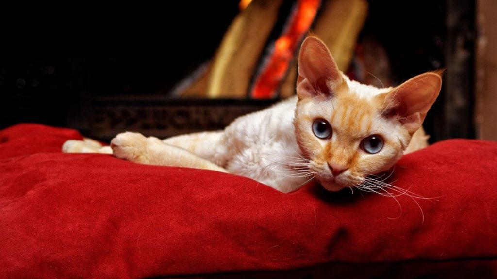 Devon Rex razza di gatto anallergico a pelo corto