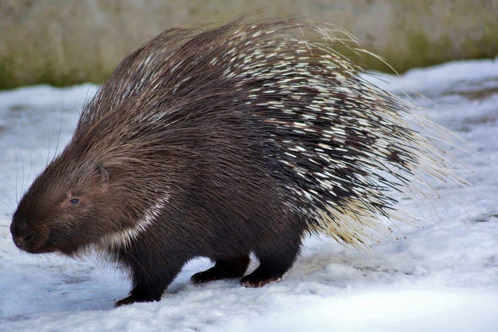 porcospino o istrice nella neve