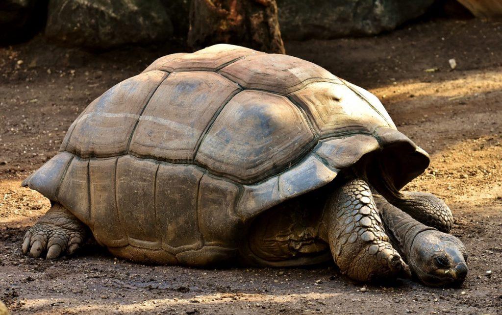 tartaruga gigante delle galapagos animali più lenti del mondo