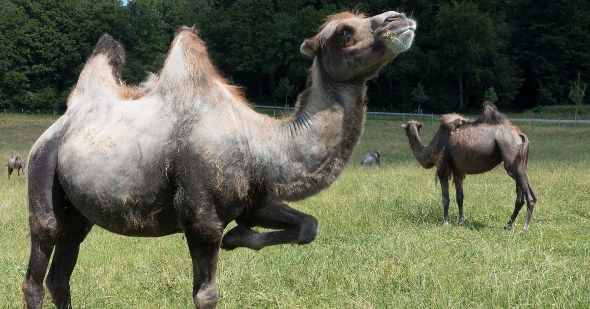 Differenza tra cammello e dromedario