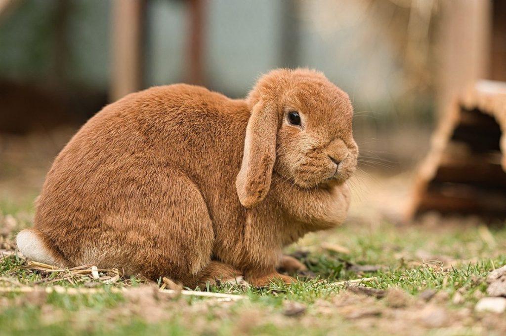coniglio ariete nano razze di conigli