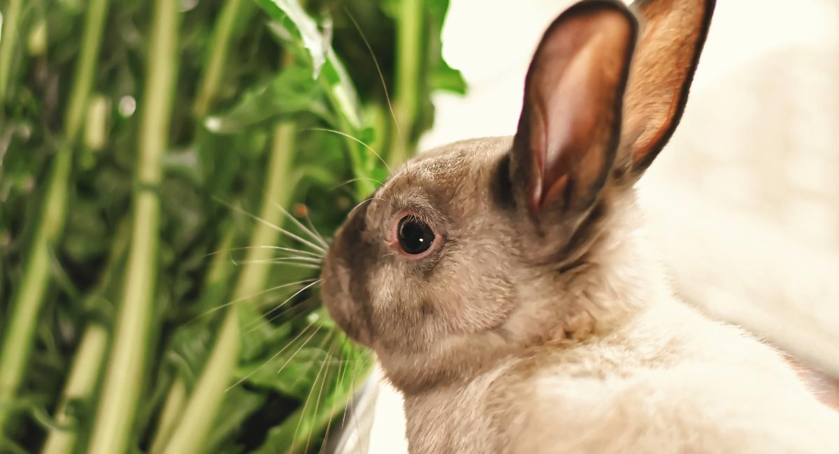 Denti del coniglio: cosa c'è da sapere