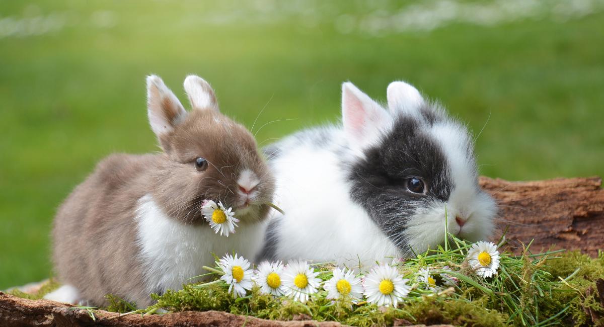 Mixomatosi del coniglio