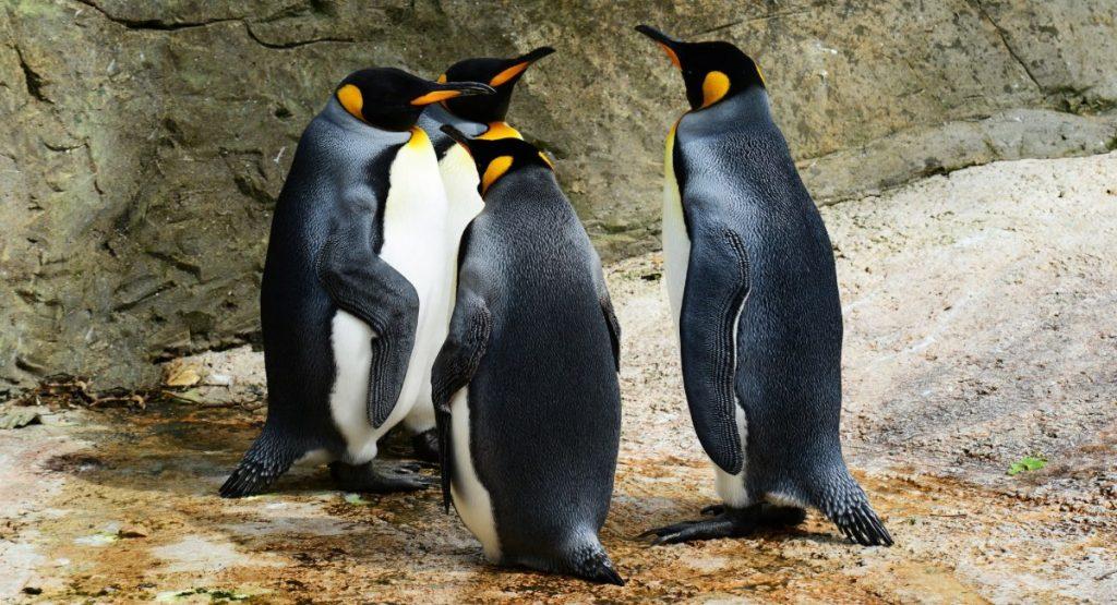 uccelli che non volano pinguini