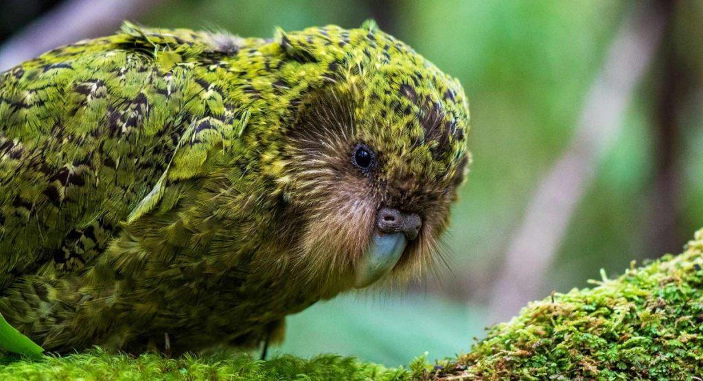 uccelli che non volano kakapo
