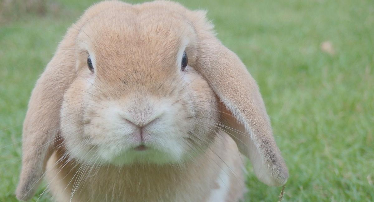 vaccinazione del coniglio