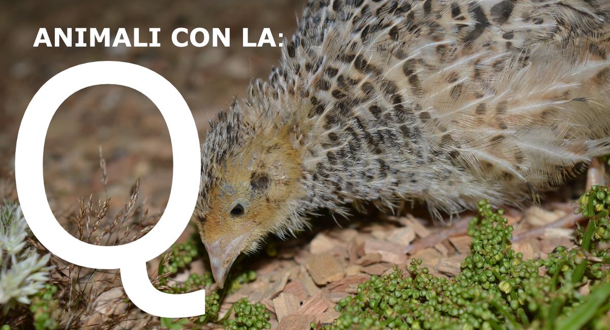 Animali con la Q