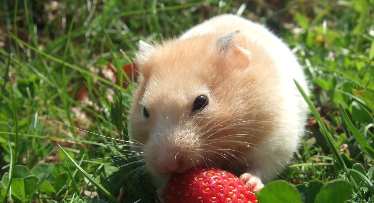 cosa mangiano i criceti
