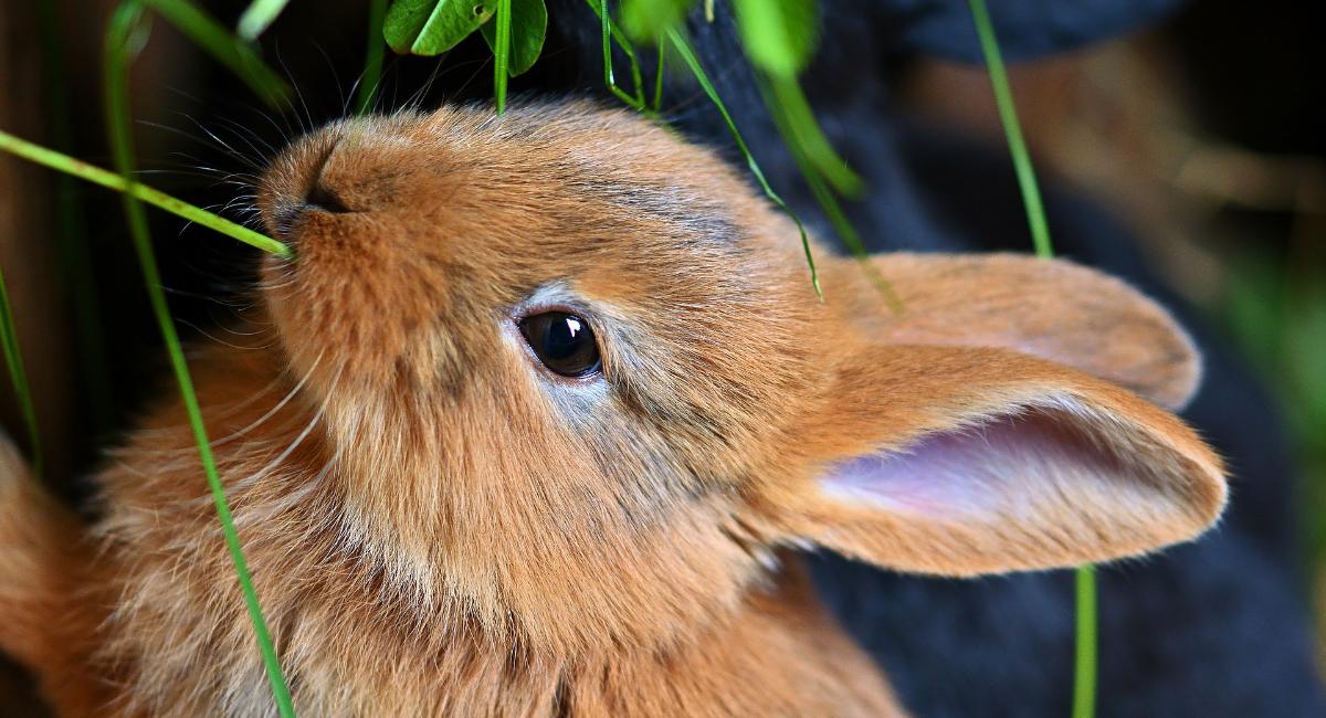 Malattie dei conigli