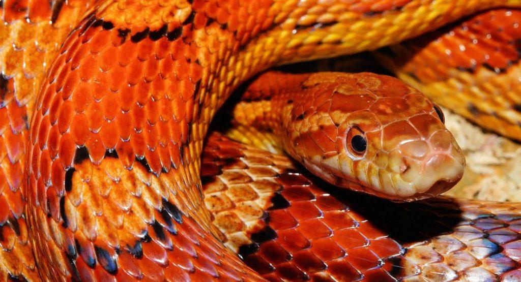 serpenti domestici serpente del grano