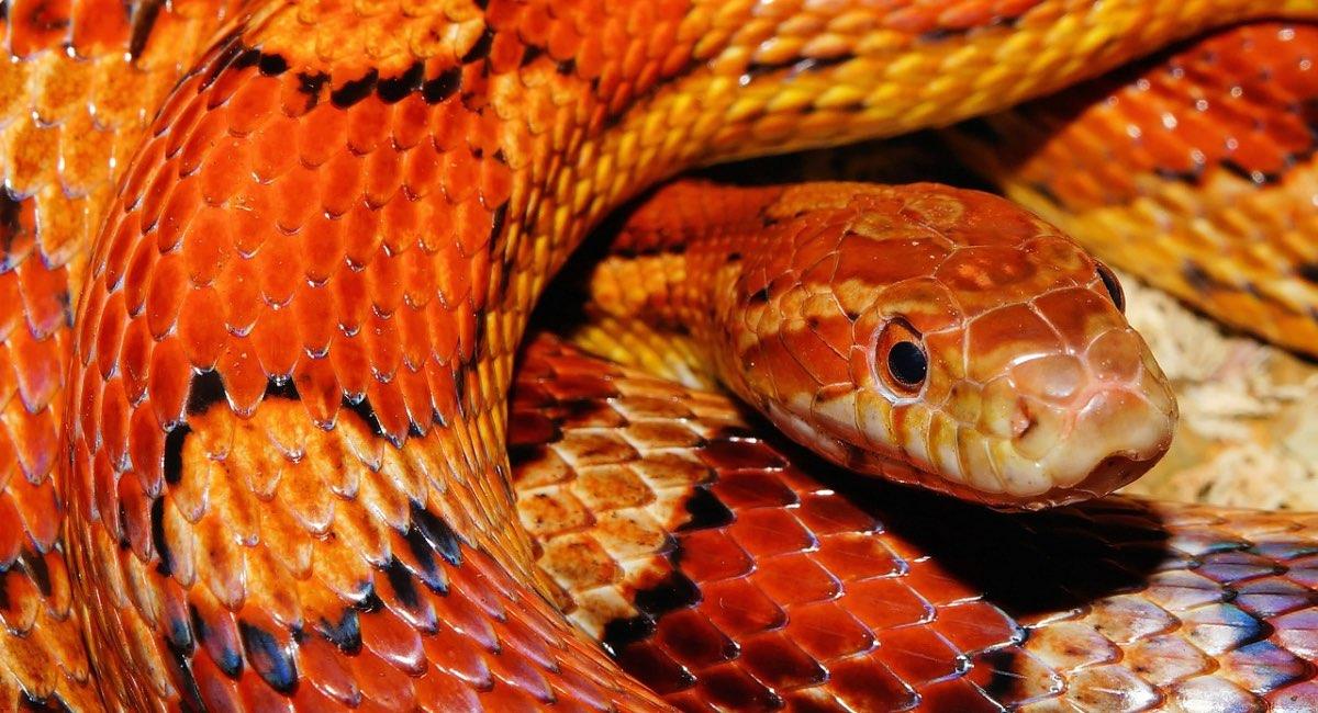 Serpenti domestici