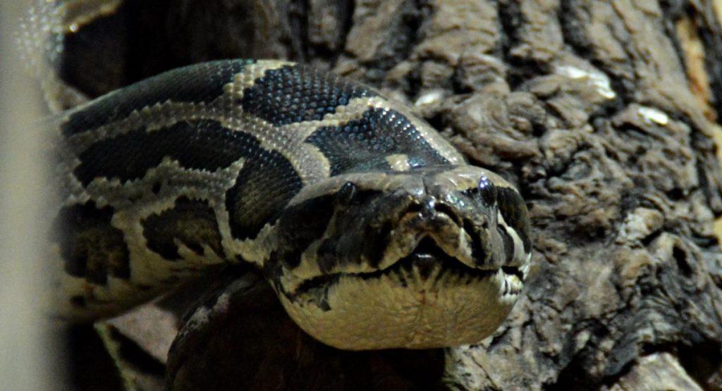 serpenti domestici pitone moluro
