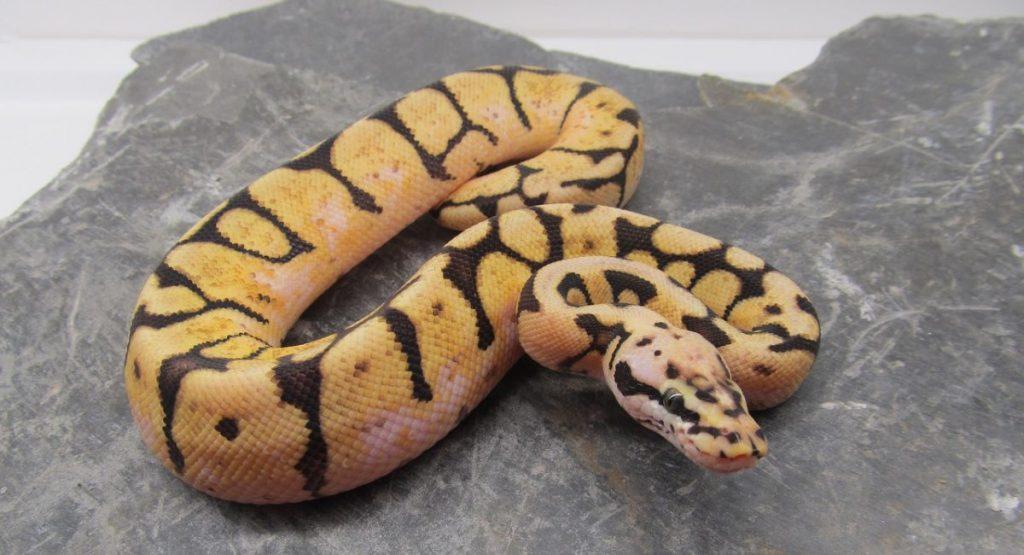 serpenti domestici boa constrictor