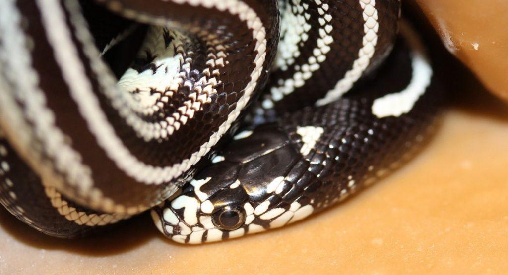serpenti domestici serpente reale della california